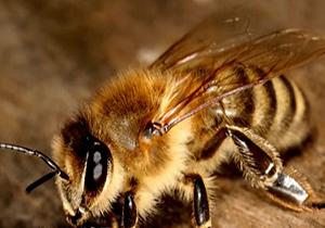 آموزش روش های پرورش و نگهداری زنبور عسل